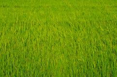 Gisement vert de riz dans le pays Photographie stock libre de droits