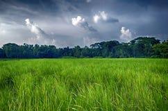 Gisement vert de riz en été avec nuageux Photos stock