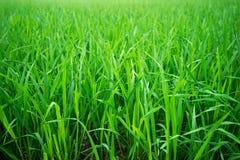 Gisement vert de riz en Asie image libre de droits