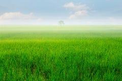 Gisement vert de riz et ciel bleu Photographie stock libre de droits