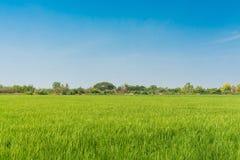 Gisement vert de riz et ciel bleu d'espace libre sur le fond Photo libre de droits
