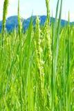 Gisement vert de riz non-décortiqué photos stock