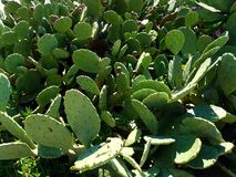 Gisement vert 4k de cactus Photos libres de droits