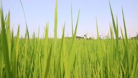 Gisement vert tiré par chariot de riz non-décortiqué banque de vidéos