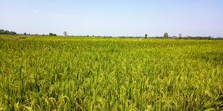 Gisements étendus de riz photographie stock libre de droits