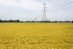 Gisements d'or de riz Photographie stock libre de droits