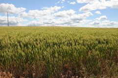 Gisements de blé d'hiver photos libres de droits