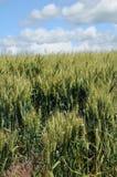 Gisements de blé d'hiver image libre de droits