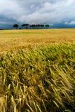 Gisements de céréale avec quelques arbres photos libres de droits