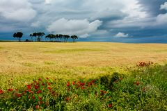 Gisements de céréale avec quelques arbres et fleurs photo libre de droits