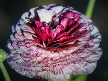Gisements de fleur à Carlsbad Images libres de droits