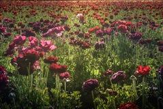 Gisements de fleur à Carlsbad Photos libres de droits