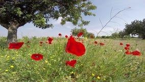 Gisements de fleur de pavot réglés à un arrière-plan de ciel bleu à une lumière du soleil espagnole glorieuse de ciel clips vidéos