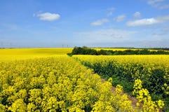 Gisements de floraison de canola Photographie stock