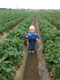 Gisements de fraise Photographie stock libre de droits