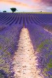 Gisements de lavande dans Valensole, France Photo stock