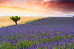 Gisements de lavande dans Valensole, France Images stock