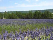 Gisements de lavande en Provence image stock