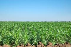 Gisements de maïs Images stock