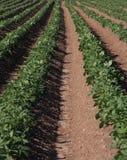 Gisements de pomme de terre images stock