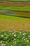 Gisements de pomme de terre avec les zones en terrasse colorées 3 Photos libres de droits