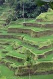 Gisements de riz Photos libres de droits