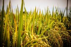 Gisements de riz Photo stock