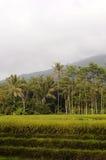 Gisements de riz Photo libre de droits