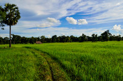 Gisements de riz image libre de droits