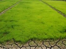 Gisements de riz Photographie stock libre de droits