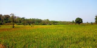 Gisements de riz avec du riz vert photographie stock libre de droits