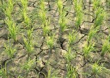 Gisements de riz avec la sécheresse Photos stock