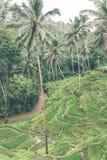 Gisements de riz de Bali Bali est connu pour ses belles et dramatiques terrasses de riz Photo libre de droits
