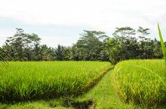 Gisements de riz d'Ubud, Bali Images libres de droits