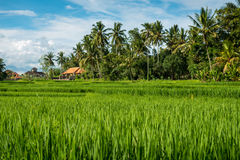 Gisements de riz dans Ubud Photo libre de droits