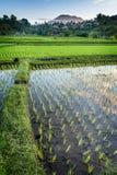 Gisements de riz de Bali Image libre de droits