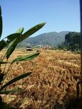 Gisements de riz de la Thaïlande Images libres de droits