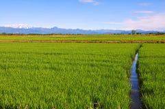 Gisements de riz de Piémont Photos libres de droits