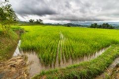 Gisements de riz de Sulawesi images stock