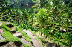Gisements de riz de terrasse sur Bali, Indonésie Images stock