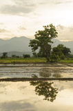 Gisements de riz en Thaïlande Image libre de droits