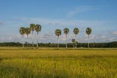Gisements de riz et arbres de plam Photographie stock