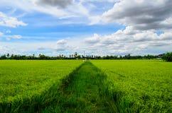Gisements de riz et ciel bleu de la Thaïlande photos libres de droits