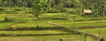 Gisements de riz - les Laotiens Images libres de droits