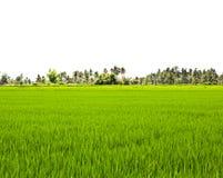 Gisements de riz non-décortiqué. Image libre de droits