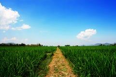 Gisements de riz non-décortiqué Image libre de droits