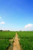 Gisements de riz non-décortiqué Photographie stock libre de droits