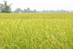 Gisements de riz non-décortiqué Photo libre de droits