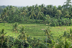 Gisements de riz : Paysage de la Malaisie Photos stock