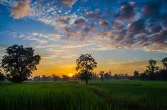 Gisements de riz pendant le matin Photos libres de droits